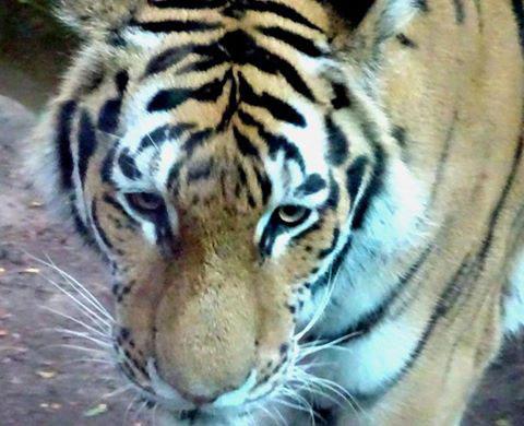 tiger S.E Ingraham