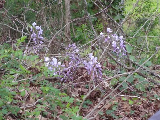 38. wisteria.jpg