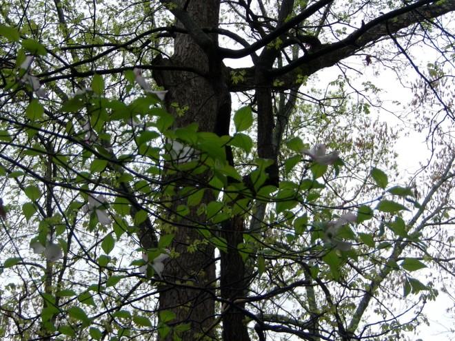 dogwood bloosom.jpg